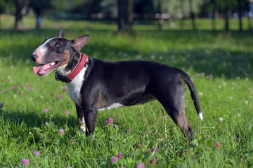 miniature bull terrier on the grass