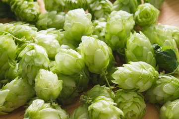 Fresh cones of hops on a wooden background. top view, closeup. Ingredient in beer industry. Craft beer brewing. Ale or lager