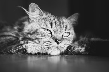Meditative fluffy tabby cat lying down on the floor. Black and white, close up