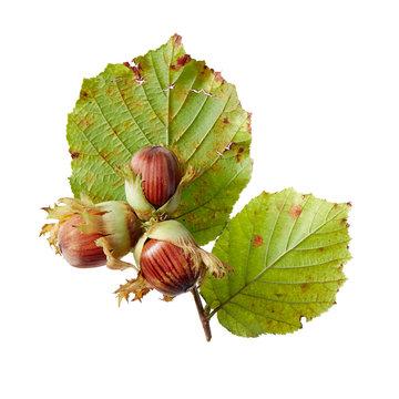 Freshly picked hazelnuts with husks