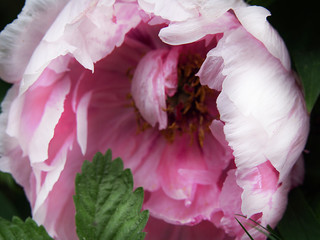 Beautiful pink woody peony in a home garden.