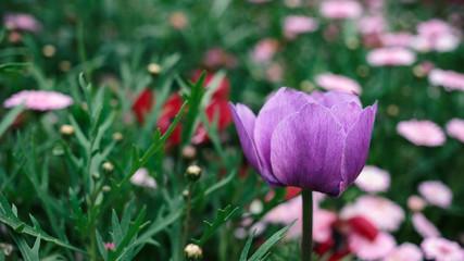 beautiful purple flower in the field, shallow depth of field