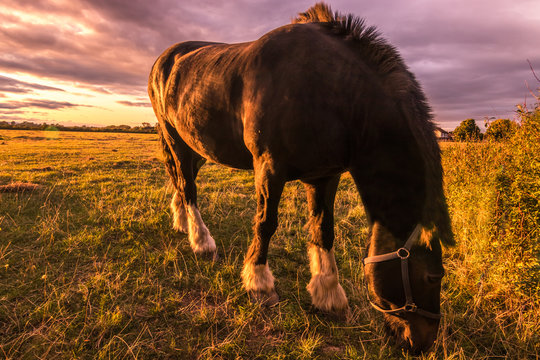 Close-up of a black stallion grazing on pasture in the sunset light. Bay horse with beautiful mane on english countryside.