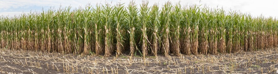 Maisfeld während der Ernte Fotoväggar