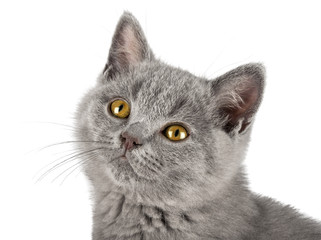 portrait of very cute blue british shorthair kitten cat sitting isolated on white background