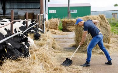 farmer man running shovel on farm of cows