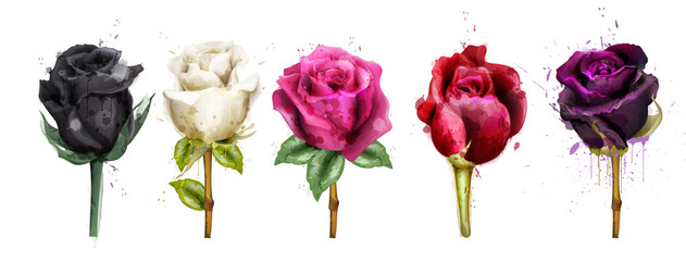 Watercolor colorful roses set collection Vector. Black rose, pink, red flowers. Beautiful detailed floral illustrations