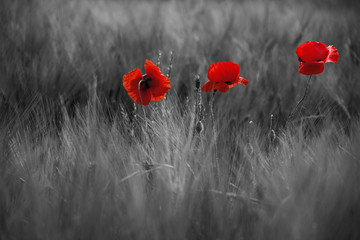 Foto auf Acrylglas Mohn Guts beautiful poppies on black and white background