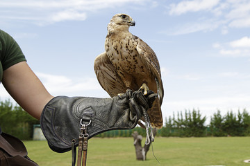 Falconer showing a falcon saker (Falco cherrug) Wall mural