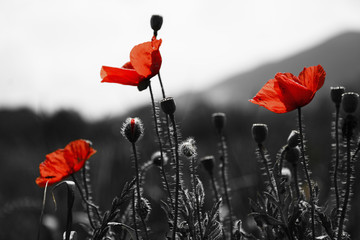 Fotobehang Poppy Guts beautiful poppies on black and white background