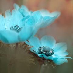 Türkise Blumen - Blaue Kronen-Anemone (Anemone coronaria) oder Garten-Anemone