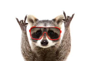 Portrait of a funny raccoon in sunglasses, showing a rock gesture, isolated on white background Wall mural