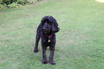 Black cockapoo dog in garden