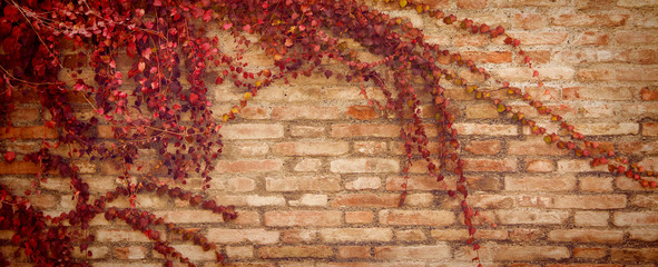 Autumn background. Brick wall wallpaper with maple leaves. Creeper