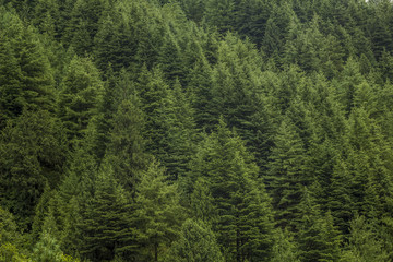 green coniferous forest on the hill
