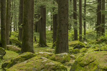 green coniferous forest and moss with stones