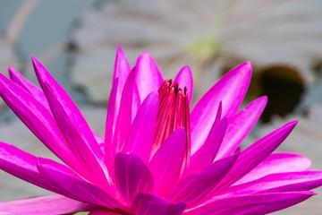 Lila Lotusblüte