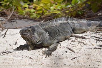 Iguana ad Aruba