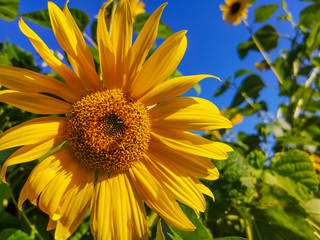Sun flower with blue sky in the background