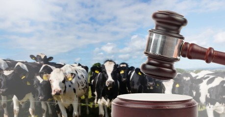 Gavel and cow farm animal auction