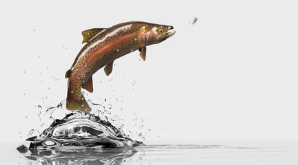 Sideview of a trout fish with flyfishing lure. Fish chasing attractive bait. White background and water splash