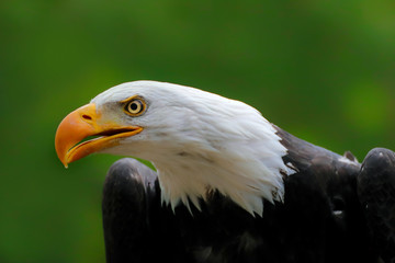 Poster - Portrait face american eagle with green background