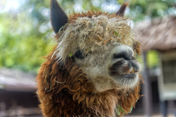 Closeup of an Alpaca