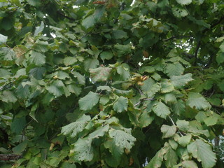 The leaves of a hazelnut tree