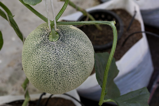 Melon large green, which has a sweet taste are grown in greenhouses.
