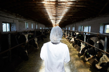 Back view portrait of unrecognizable veterinarian working with cows standing in stables of modern dairy farm, copy space