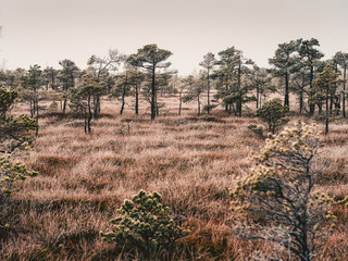 Pine Trees in Field of Kemeri moor in Latvia - vintage look edit