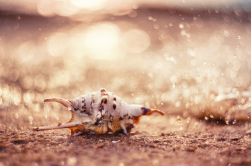 closeup exotic shell on sandy beach on sunset, natural summer background. picture with soft focus and  beautiful bokeh