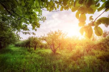 apple garden  at sunset (or sunrise). natiral summer (spring) background