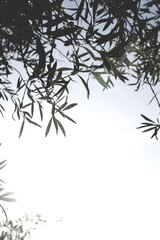 Olive tree leaves background
