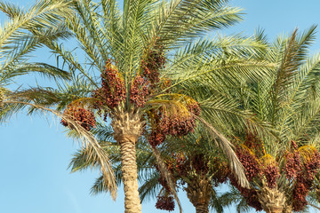 branches of date palms under blue sky.