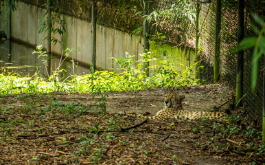 Cheetah in zoo
