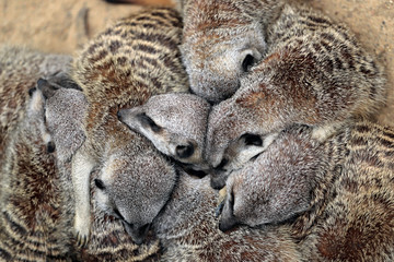 Relax sleeping wild African Meerkats family (Suricata suricatta)