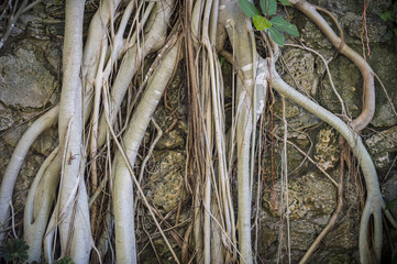 Brazilian strangler fig banyan tree roots in a close-up abstract textured background