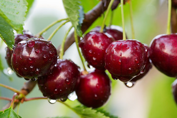 Big red cherries with water drops. Cherries hanging on a cherry tree .