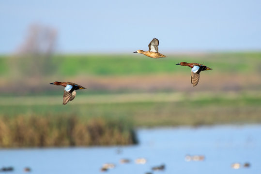 Flying wild ducks above wetland landscape