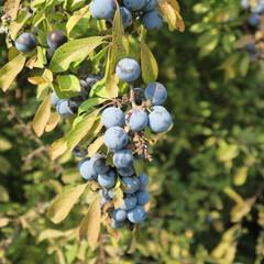 Prunus spinosa, blackthorn, blue autumn fruit, medicinal plant, popular as a jam, wine, liqueur