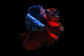 Portrait of a betta fish, Indonesia