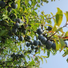 Prunus spinosa, blackthorn, blue autumn fruit, medicinal plant, popular as a jam, wine, liqueur