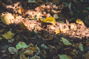 Macro photo of autumn yellow leaves of sunny