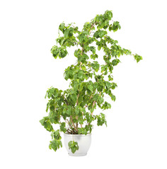 Beautiful ficus in pot on white background