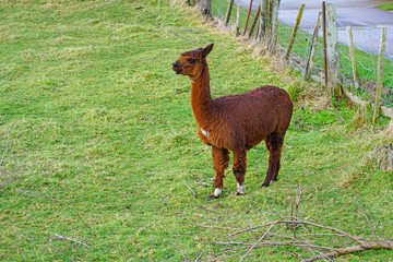A brown alpaca on the grass in a farm in New Zealand