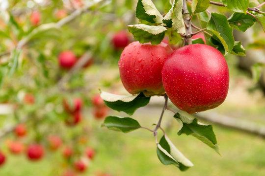 Apple tree farm