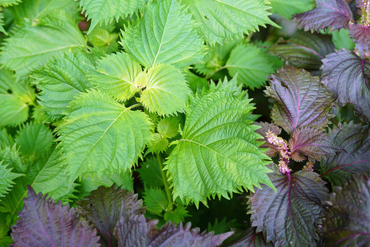 Green and purple shiso perilla herb growing in the garden