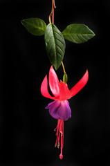 Fuchsia flower against black