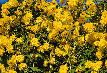 Yellow flowers against the blue sky.